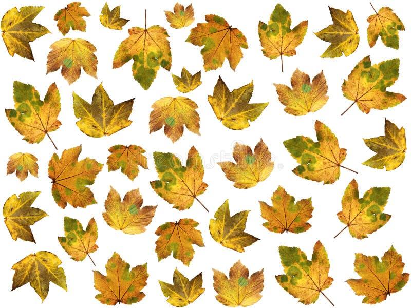 Απομονωμένα φθινοπωρινά φύλλα σφενδάμου στοκ φωτογραφία