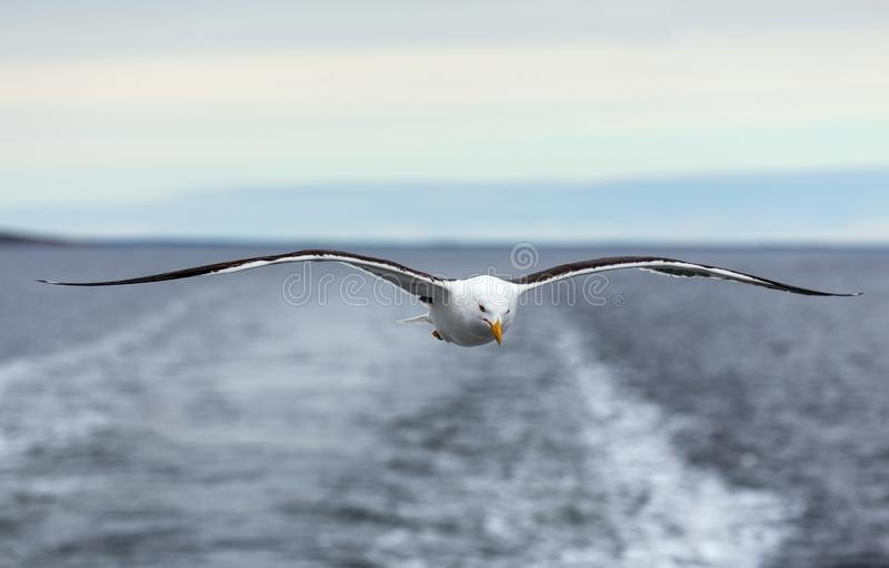 Απομονωμένες seagull μύγες στον ορίζοντα επάνω από τη θάλασσα στοκ εικόνες