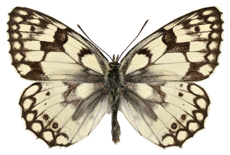 Απομονωμένη άσπρη πεταλούδα Esper στοκ εικόνες