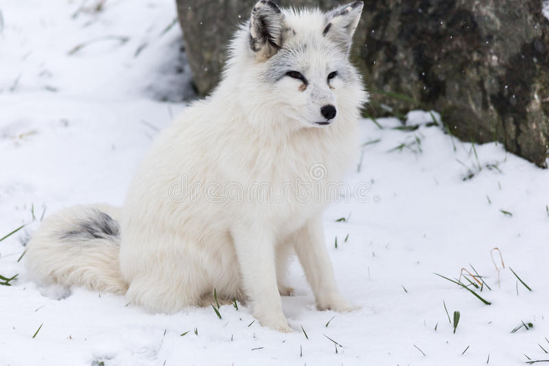 Απομονωμένη αρκτική αλεπού σε ένα χειμερινό περιβάλλον στοκ εικόνες