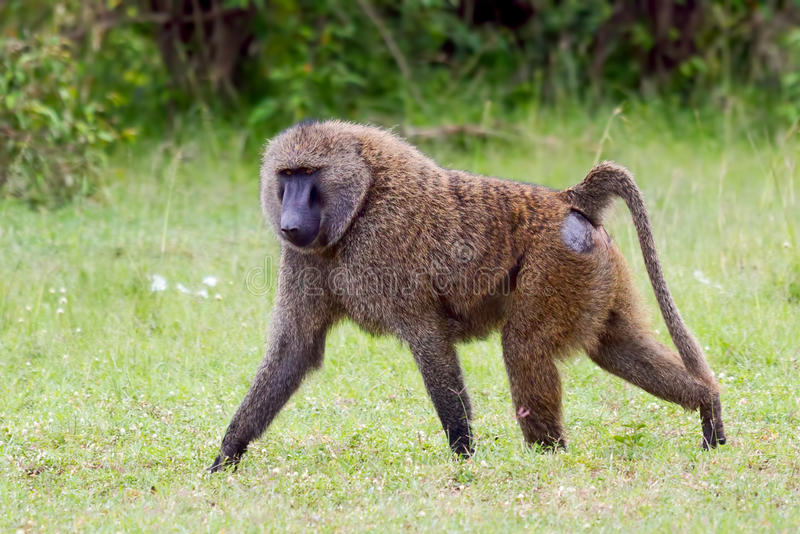Απομονωμένη αρσενική ελιά, ή σαβάνα, Baboon, περπάτημα στοκ εικόνα με δικαίωμα ελεύθερης χρήσης