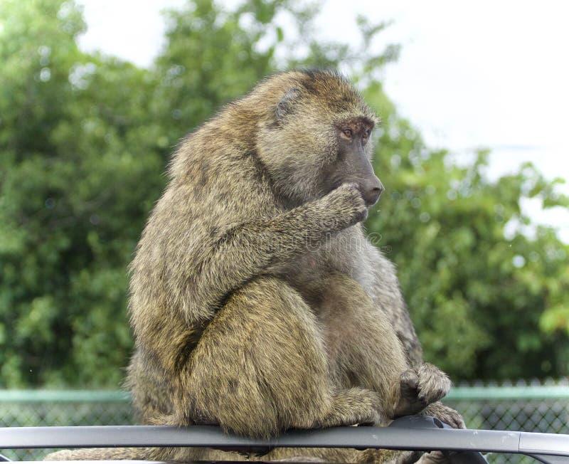 Απομονωμένη εικόνα με αστείο baboon που κοιτάζει κατά μέρος στοκ εικόνες