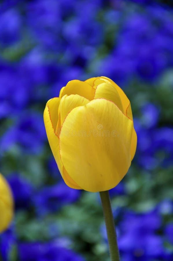 Απομονωμένη κίτρινη τουλίπα στο θολωμένο κρεβάτι των μπλε λουλουδιών pansies, ομο στοκ εικόνα
