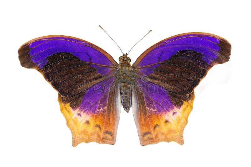 Απομονωμένη μεγάλη πεταλούδα Assyrian (atlita Terinos) στοκ φωτογραφία με δικαίωμα ελεύθερης χρήσης