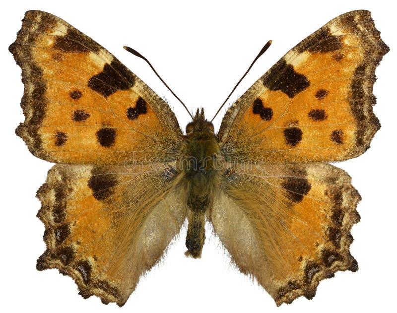 Απομονωμένη πεταλούδα Blackleg Tortoiseshel στοκ φωτογραφία με δικαίωμα ελεύθερης χρήσης
