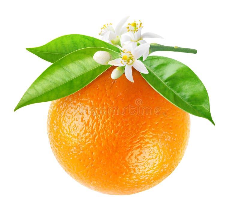 Απομονωμένη πορτοκαλιά ένωση φρούτων σε έναν κλάδο στοκ φωτογραφίες με δικαίωμα ελεύθερης χρήσης