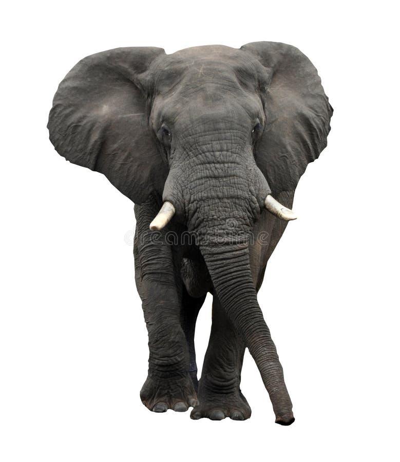 Απομονωμένη στον άσπρο αφρικανικό ελέφαντα στοκ εικόνες με δικαίωμα ελεύθερης χρήσης