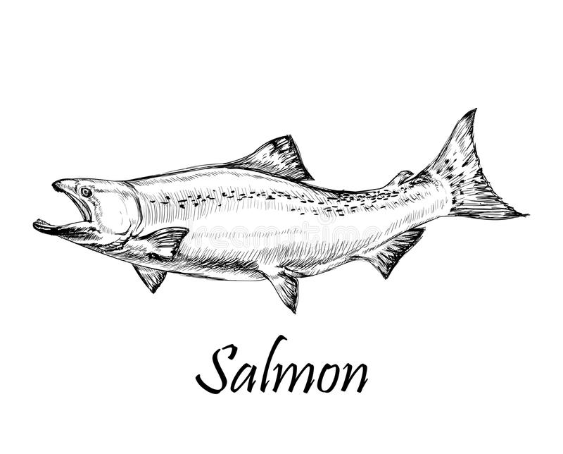 Απομονωμένη συρμένη χέρι ψάρια διανυσματική απεικόνιση σολομών διανυσματική απεικόνιση