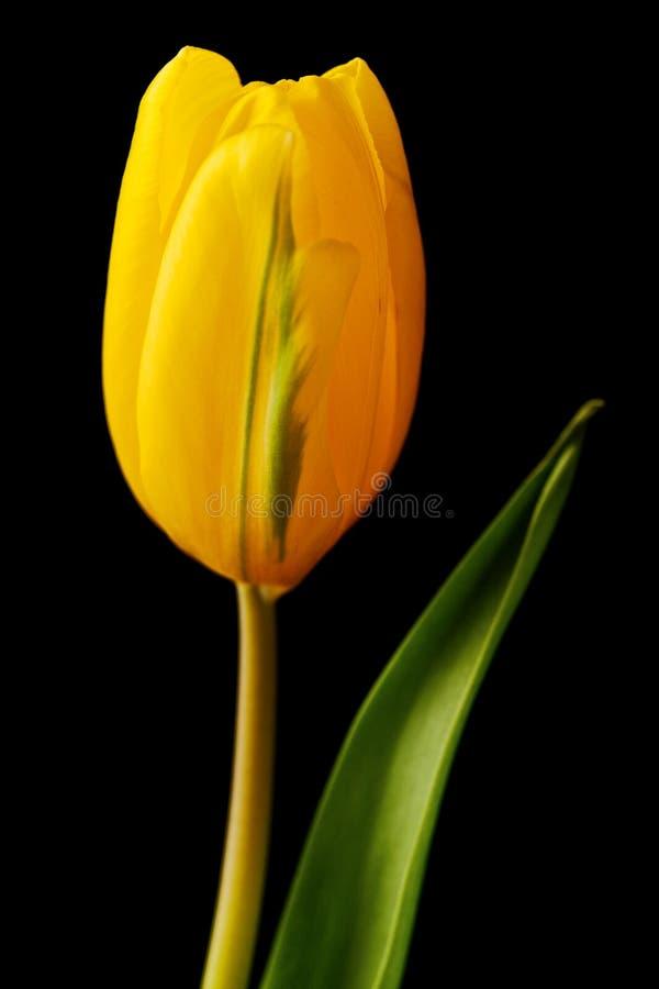 απομονωμένη τουλίπα κίτρι&nu στοκ εικόνα