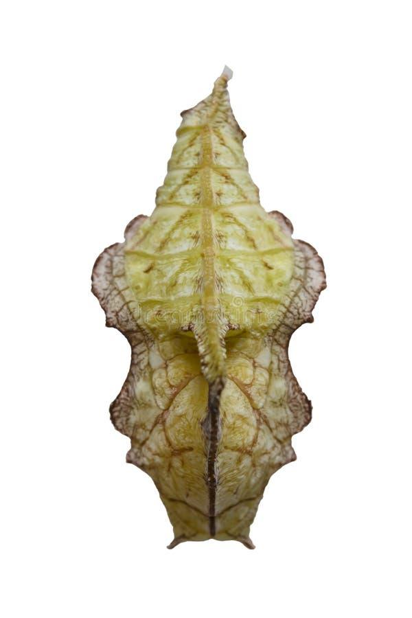 Απομονωμένη χρυσαλίδα της τιγρέ πεταλούδας Pseudergolis wedah στο W στοκ εικόνες