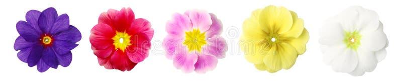 απομονωμένη primroses σειρά στοκ εικόνες