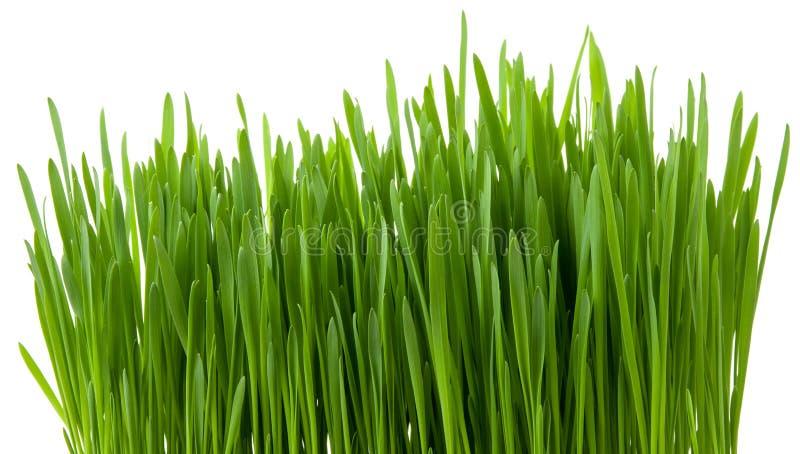 Απομονωμένοι πράσινοι νεαροί βλαστοί χλόης στο άσπρο υπόβαθρο στοκ φωτογραφίες