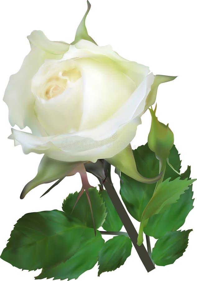 Απομονωμένος άσπρος αυξήθηκε με το μικρό οφθαλμό ελεύθερη απεικόνιση δικαιώματος