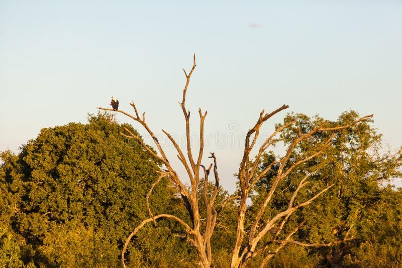 Απομονωμένος αετός ψαριών σε έναν κλάδο στοκ φωτογραφίες