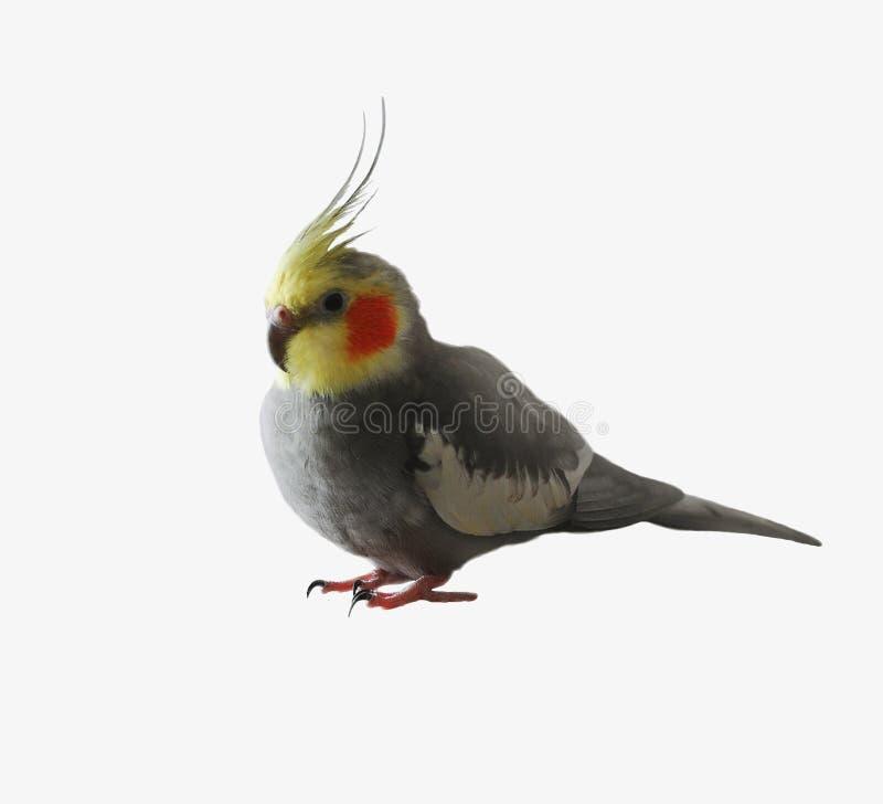Απομονωμένος γκρίζος παπαγάλος ockatiel, κίτρινα επικεφαλής, πορτοκαλιά μάγουλα στοκ εικόνες