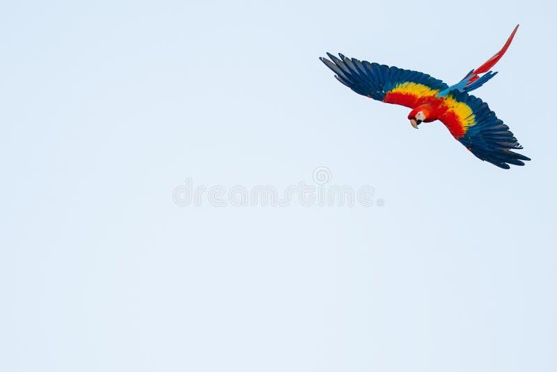 Απομονωμένος ιπτάμενος τροπικός παπαγάλος με φωτοτυπικό χώρο Σκαρφαλωμένη μακάο στον ουρανό στοκ φωτογραφία με δικαίωμα ελεύθερης χρήσης