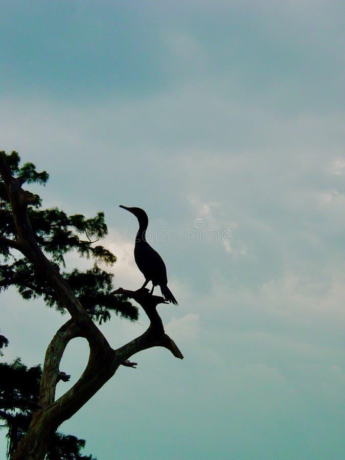 Απομονωμένος κορμοράνος στη Λουιζιάνα Bayou στοκ εικόνα