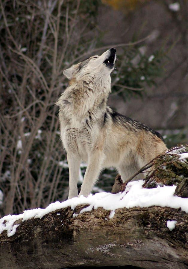 απομονωμένος λύκος που καλεί στους συντρόφους του στοκ φωτογραφία
