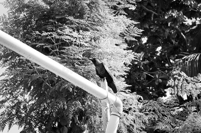 Απομονωμένος μαύρος κόρακας στοκ φωτογραφία με δικαίωμα ελεύθερης χρήσης