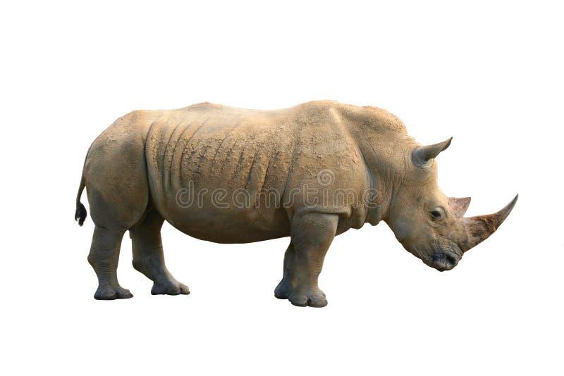 απομονωμένος ρινόκερος στοκ εικόνες