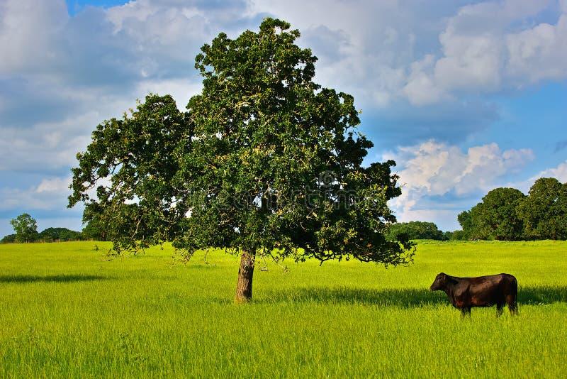 Απομονωμένος ταύρος και δρύινο δέντρο στο έδαφος αγροκτημάτων του Τέξας στοκ φωτογραφία με δικαίωμα ελεύθερης χρήσης