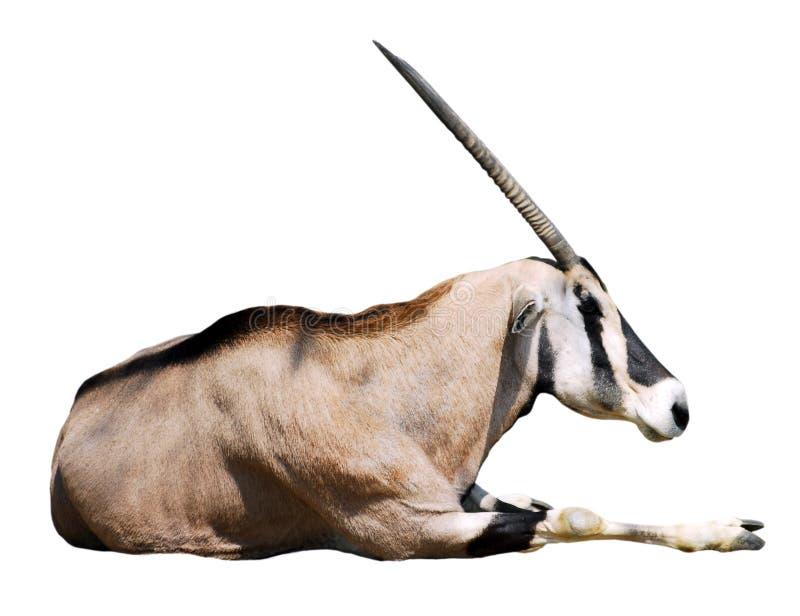 απομονωμένος oryx στοκ εικόνες