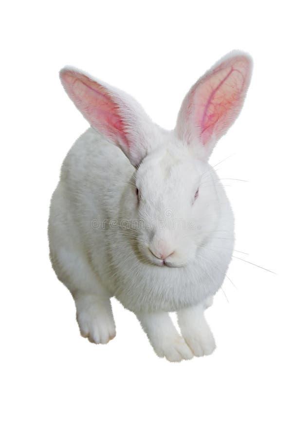 Απομονωμένο άσπρο κουνέλι στοκ εικόνα