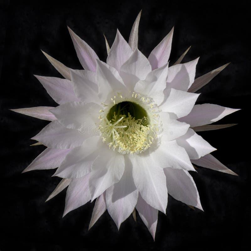 Απομονωμένο άσπρο λουλούδι κάκτων Echinopsis στο Μαύρο στοκ εικόνα