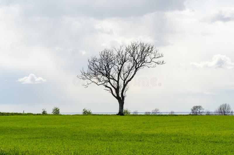 Απομονωμένο άφυλλο μεγάλο δέντρο σε έναν πράσινο τομέα καλαμποκιού στοκ εικόνες