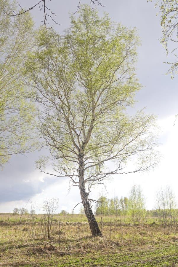 Απομονωμένο δέντρο σημύδων στοκ φωτογραφία
