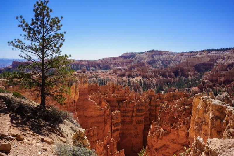 Απομονωμένο δέντρο στην άκρη απότομων βράχων στο φαράγγι του Bryce στοκ φωτογραφίες