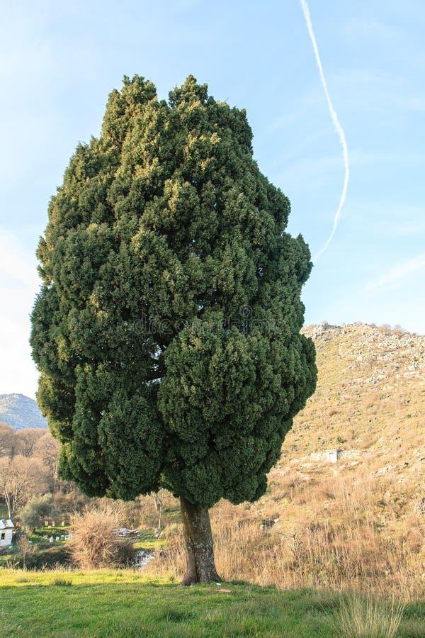 Απομονωμένο αειθαλές δέντρο στοκ φωτογραφία
