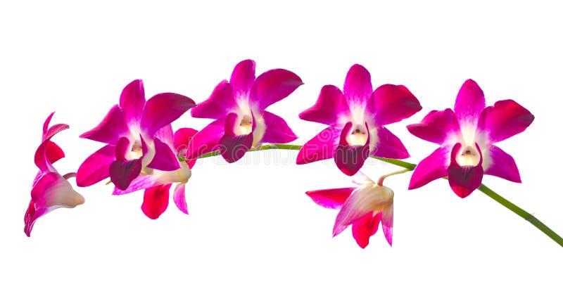 απομονωμένο ανασκόπηση orchid π& στοκ εικόνες με δικαίωμα ελεύθερης χρήσης