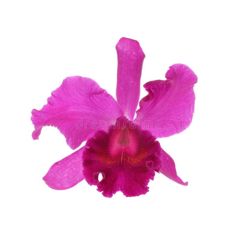 απομονωμένο ανασκόπηση orchid π& στοκ εικόνες