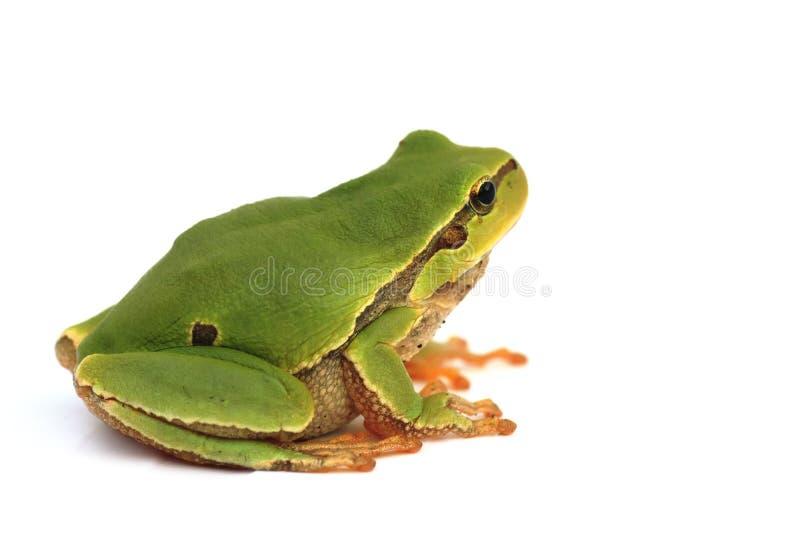 απομονωμένο βάτραχος δέντ&rh στοκ εικόνες με δικαίωμα ελεύθερης χρήσης