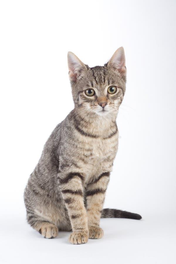 απομονωμένο γατάκι που στέκεται ριγωτό στοκ εικόνα