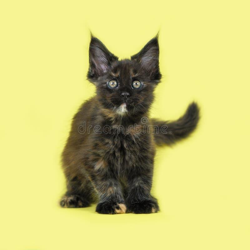 Απομονωμένο γατάκι του Μαίην Coon στο στούντιο στοκ φωτογραφίες