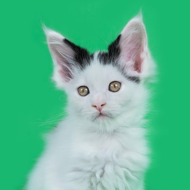 Απομονωμένο γατάκι του Μαίην Coon στο στούντιο στοκ φωτογραφία με δικαίωμα ελεύθερης χρήσης