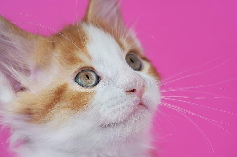 Απομονωμένο γατάκι του Μαίην Coon στο στούντιο στοκ εικόνες