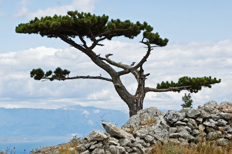 Απομονωμένο δέντρο πεύκων πάνω από το λόφο στο μεσογειακό νησί στοκ φωτογραφίες