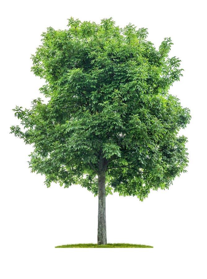 Απομονωμένο δέντρο σε ένα άσπρο υπόβαθρο - negundo Acer - τέφρα σφενδάμνου στοκ εικόνες