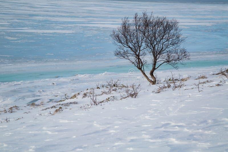 Απομονωμένο δέντρο στην ακτή ενός παγωμένου φιορδ στη Νορβηγία στοκ εικόνα