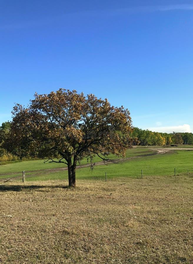 Απομονωμένο δρύινο δέντρο, γεράκι που πετά κοντά στοκ εικόνες με δικαίωμα ελεύθερης χρήσης