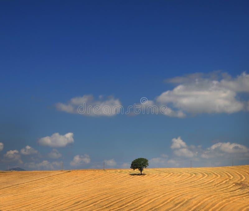 απομονωμένο δρύινο δέντρο στοκ φωτογραφίες