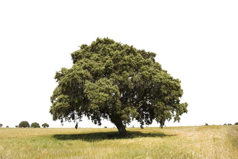 απομονωμένο δρύινο δέντρο στοκ εικόνα