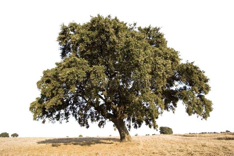 απομονωμένο δρύινο δέντρο στοκ εικόνες
