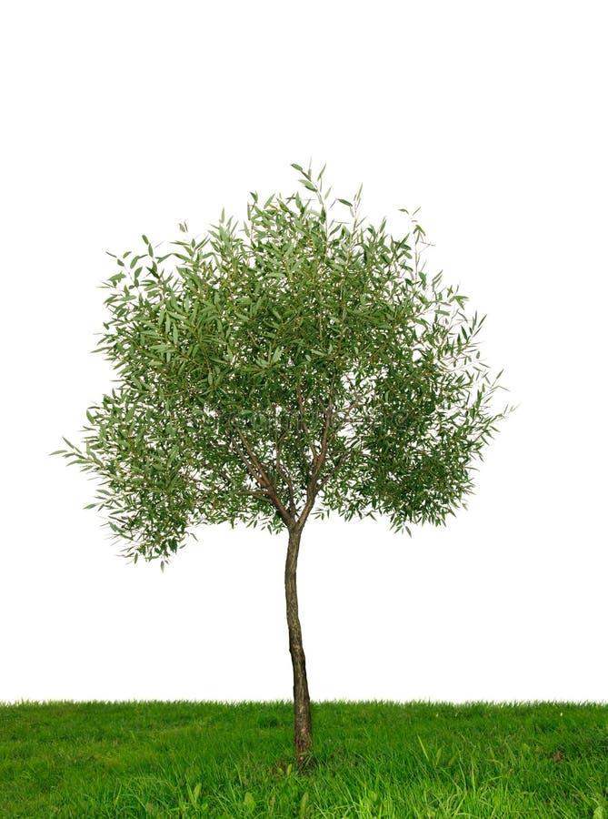 απομονωμένο ενιαίο δέντρ&omicron στοκ εικόνα