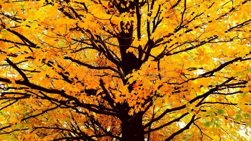 απομονωμένο λευκό δέντρων σφενδάμνου στοκ φωτογραφίες με δικαίωμα ελεύθερης χρήσης
