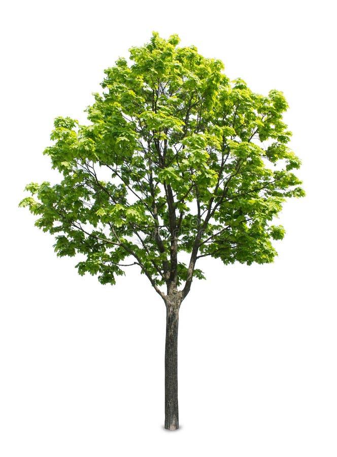 απομονωμένο λευκό δέντρων σφενδάμνου στοκ εικόνες