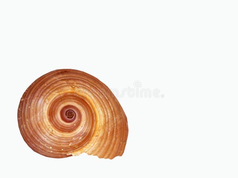 απομονωμένο θαλασσινό κοχύλι στοκ φωτογραφία
